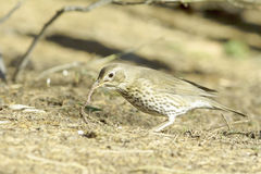European Song Thrush portrait / Turdus philomelos Stock Images