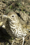 European Song Thrush / Turdus philomelos. Close-up Royalty Free Stock Photo
