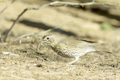 European Song Thrush / Turdus philomelos. Close-up Royalty Free Stock Image