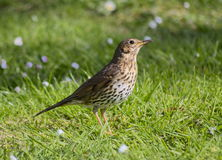 European Song Thrush (Turdus philomelos). Thrush on short grass paused listening for insects and worms to gather for food Royalty Free Stock Images