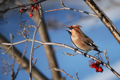 European songbird on branch in winter, colorful bird on blue background Royalty Free Stock Photo