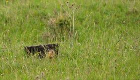 European Souslik Ground Squirrel Stock Images
