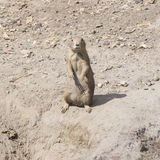 European Souslik or Ground Squirrel, Spermophilus citellus, stand on sand, close-up portrait, selective focus Stock Photos