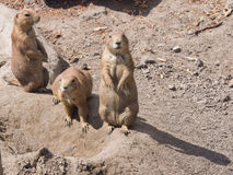 European Sousliks or Ground Squirrels, Spermophilus citellus, on dry ground, close-up portrait, selective focus Royalty Free Stock Images