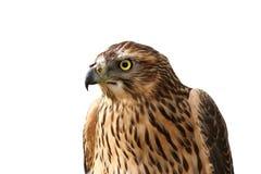 European sparrowhawk portrait over white Stock Image