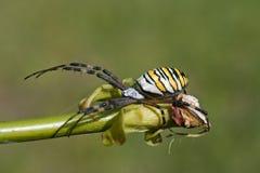 European spider  (Argiope bruennichi) Royalty Free Stock Photo