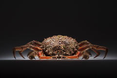 European spider crab, crustacean, shellfish, seafood, copy space. Front view of luxury and appetizing European spider crab (Maja Squinado). Shooting on white Stock Image