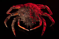 European spider crab, crustacean, shellfish, seafood, isolated,. High angle view of European spider crab (Maja Squinado) full length. Shooting on black Royalty Free Stock Photos