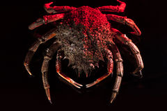 European spider crab, crustacean, shellfish, seafood, isolated,. High angle view of European spider crab (Maja Squinado) full length. Shooting on black Royalty Free Stock Photography