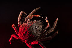 European spider crab, crustacean, shellfish, seafood, sparse, bl. Sparse high angle view  of European spider crab (Maja Squinado). Shooting on luxury black Stock Photo