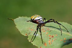 European spider in nature (Argiope bruennichi). European white - yellow spider ( Argiope bruennichi stock photography