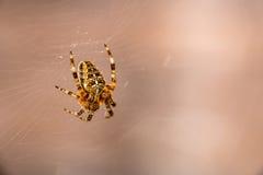 European spider on web Stock Photos