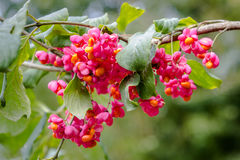 European spindle flower Stock Image