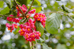 European spindle flower Royalty Free Stock Photos