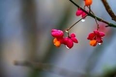 European spindle flower or Euonymus europaeus Stock Photo