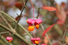 European Spindle Tree in Autumn. Closeup of the mature fruits of a european spindle tree in late autumn stock photography