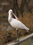 European spoonbill Royalty Free Stock Images