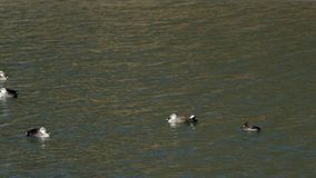 European spot-bill ducks floating on choppy water. Two European spot-bill ducks floating on choppy water joined by three other ducks, one exits frame at end of stock footage