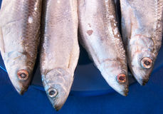 European sprats. Four sprats on the dark blue plate Stock Images