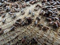 European spruce bark beetle. Ips typographus Royalty Free Stock Photos