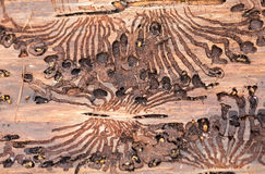The European spruce bark beetle. Traces of a pest on a tree bark Stock Image