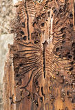 The European spruce bark beetle. Traces of a pest on a tree bark Royalty Free Stock Photo