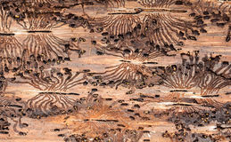 The European spruce bark beetle. Traces of a pest on a tree bark Royalty Free Stock Image