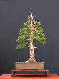 European spruce bonsai royalty free stock image