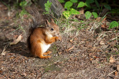 European squirrel Royalty Free Stock Photography