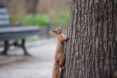 European squirrel in the city Royalty Free Stock Photo