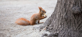 European squirrel in the city Royalty Free Stock Photography