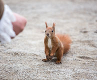 European squirrel in the city Stock Photography