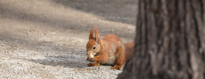 European squirrel in the city Royalty Free Stock Image