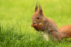 European Squirrel eating sunflower seeds (Sciurus). PolandEuropean squirrel sitting on the grass and eat sunflower seeds.Spring in May.Clearly shows the animal's Royalty Free Stock Photos