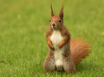 European squirrel sitanding on the grass (Sciurus). Poland.Spring in May.Male European Squirrels in combat position expectant aggressive position in relation to Royalty Free Stock Images