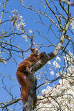 European squirrel Royalty Free Stock Images