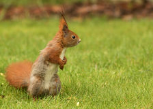 European squirrel sitting on the grass (Sciurus). Poland.Spring in May.Male of European squirrel standing on hind legs and followers of his rival for the favor Stock Images
