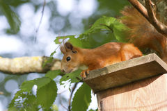European squirrel sitting on the roof iskustveenoy Bird houses. Royalty Free Stock Photo