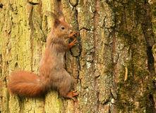 European squirrel on a tree trunk (Sciurus). Poland.Spring in May.European squirrel on a tree trunk (Sciurus) and Royalty Free Stock Image