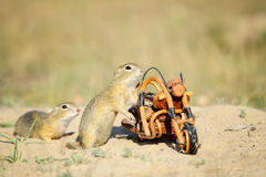 European squirrels sniffing around wooden bike Royalty Free Stock Photography
