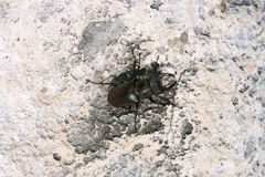 European stag beetle Royalty Free Stock Image
