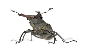 European Stag beetle against white background Stock Photography