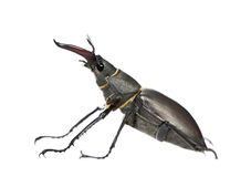 European Stag beetle against white background Stock Photos