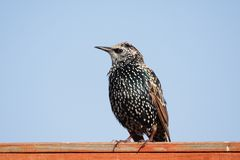 European Starling Royalty Free Stock Image