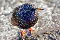 The European Starling Royalty Free Stock Image