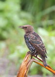 European Starling. Photographed near Cape Town South Africa Stock Images
