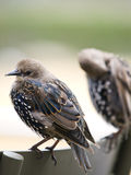 European Starling. Two European Starling or Common Starling in a row Stock Images