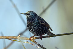 European Starling. Perched on a tree branch Stock Photos
