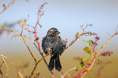 European Starling. Perched on a tree branch Royalty Free Stock Photography