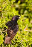 European starling. A European starling perched in a spiny hackberry.  About 100 of these birds were released in New York in the late 19th century; they now Royalty Free Stock Photography